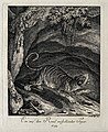 A tiger about to pounce on its prey. Etching by J. E. Riding Wellcome V0021054EL.jpg