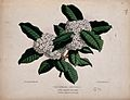 A tropical plant (Acokanthera spectabilis); flowering stem. Wellcome V0044402.jpg