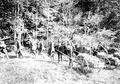 Abladen der Maschinengewehre im Wald während der Manöver - CH-BAR - 3241246.tif
