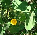 Abutilon Grandifolium (18099349368).jpg