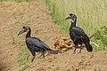 Abyssinian ground hornbill (Bucorvus abyssinicus) - Murchison Falls National Park 02.jpg