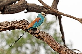 Abyssinian roller (Coracias abyssinicus).jpg