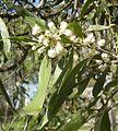 Acacia facsiculifera flowers.jpg