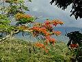 Acacia roja - Flamboyán (Delonix regia) (14278616575).jpg