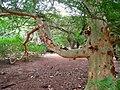 Acacia xanthophloea- Koko Crater Botanical Garden - IMG 2342.JPG