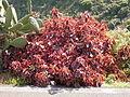 Acalypha wilkesiana (Barlovento) 01.jpg