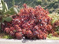 Acalypha wilkesiana (Barlovento) 01