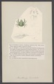 Acanthonyx lunulatus - - Print - Iconographia Zoologica - Special Collections University of Amsterdam - UBAINV0274 006 01 0061.tif
