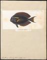Acanthurus olivaceus - 1700-1880 - Print - Iconographia Zoologica - Special Collections University of Amsterdam - UBA01 IZ13700049.tif