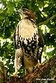 Accipiter gundlachii.jpg
