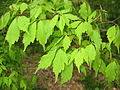 Acer cissifolium 4.JPG