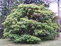 Acer cissifolium Morton 1073-58-1.jpg