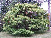 Acer cissifolium Morton 1073-58-1