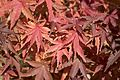 Acer sp - Maple, Adana 2016-12-10 01-2.jpg