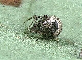 <i>Cryptachaea</i> genus of arachnids