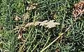 Achillea crithmifolia Prague 2013 3.jpg