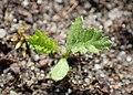Achillea millefolium kz12.jpg