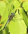 Acisoma variegatum 018259-1.jpg