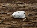 Acleris kochiella.jpg