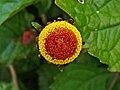 Acmella oleracea 002.JPG