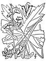 Aconitum-reclinatum01.jpg