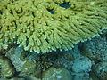 Acropora clathrata Macro Maldives.JPG