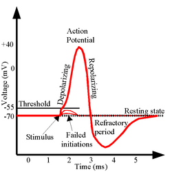 ActionPotential.png