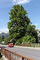 Admont - Naturdenkmal 911 - Winterlinde (Tilia cordata) neben der Lichtmessbachbrücke.jpg