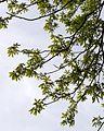Aesculus flava (Yellow Buckeye) (26563693764).jpg