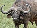 African Buffalo (Syncerus caffer) bull (31987607730).jpg