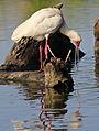 African Spoonbill, Platalea alba at Rietvlei Nature Reserve, Gauteng, South Africa (22792941632).jpg