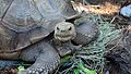 African Spurred Tortoise at Brevard Zoo.jpg