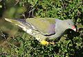 African green pigeon, Treron calvus, Kruger main road near Punda Maria turn-off, Kruger National Park, South Africa (26146254521).jpg