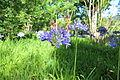 Agapanthus praecox-IMG 8895.JPG