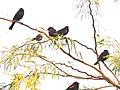 Agelaius phoeniceus Mecca CA 04.jpg