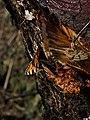 Aglais urticae - Small tortoiseshell - Крапивница (26750476567).jpg