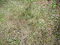 Agrostis pourretii Habitat 2011-6-23 SierraMadrona.jpg
