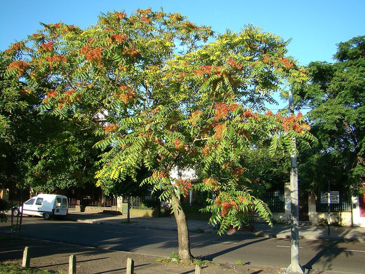 Ailanthus altissima - Wikipedia, la enciclopedia libre - photo#41