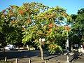 Ailanthus altissima Arg.jpg