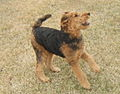 Airedale terrier four months old May 2014.jpg