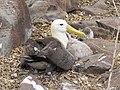 Albatross birds - Espanola - Hood - Galapagos Islands - Ecuador (4871022543).jpg