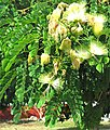 Albizia lebbeck-flowers-leaves.jpg