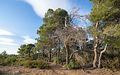 Aleppo Pines grove, Pinet, Hérault 01.jpg