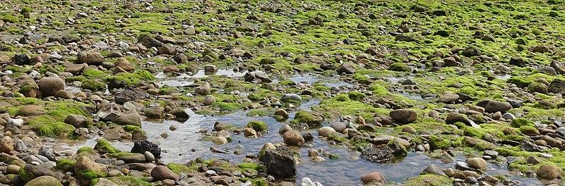 Algae on coast.jpg