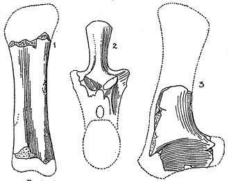1904 in paleontology - Algoasaurus