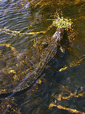 A color photograph taken from above of a mid-sized alligator with its head above water resting on an outcropping of plants and the rest of its body submerged in clear water. The alligator is surrounded by strands of yellow and brown strands of periphyton underwater