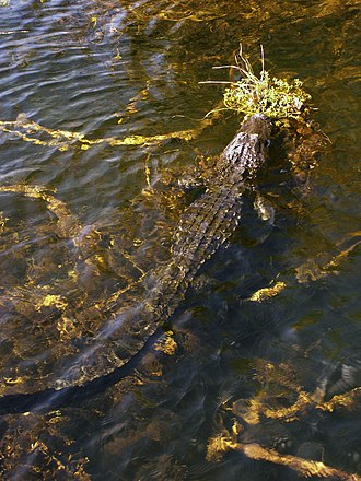 Geography and ecology of the Everglades - An alligator amid strands of periphyton in the Everglades