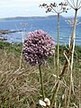 Allium ampeloprasum - view towards Nare Head and Gull Rock - geograph.org.uk - 1181497 (portrait).jpg