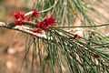 Allocasuarina verticilliata (Drooping she-oak) Female Flowers - Steiglitz, Victoria Australia (4804370714).jpg