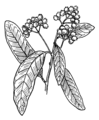 Allspice (PSF).png